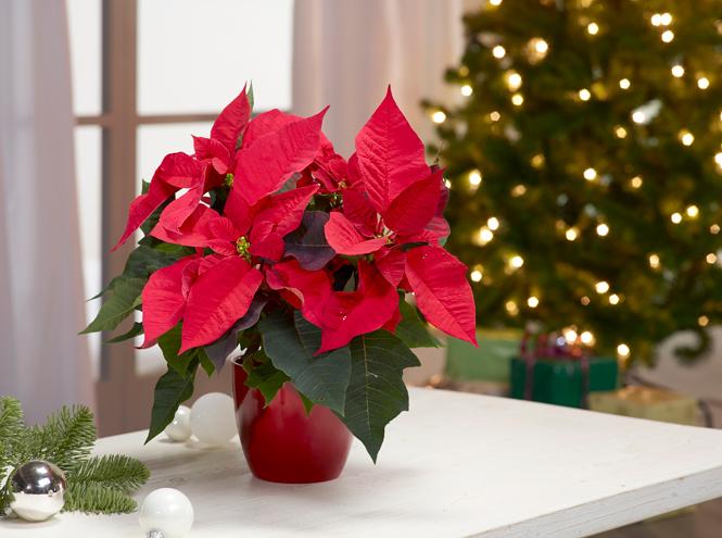 пуансеттия Рождество